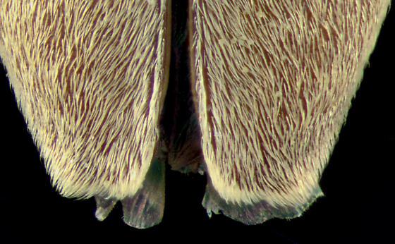Cerambycidae,elytral tips - Stenocorus cinnamopterus