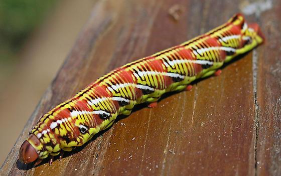 Banded Sphinx Moth Caterpillar - Eumorpha fasciatus