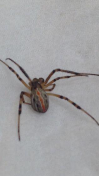 Help me identify this spider please  - Latrodectus hesperus