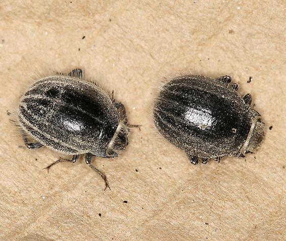 round fuzzy black beetle - Edrotes ventricosus