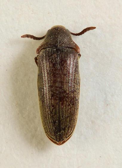 Pactopus horni? - Pactopus horni