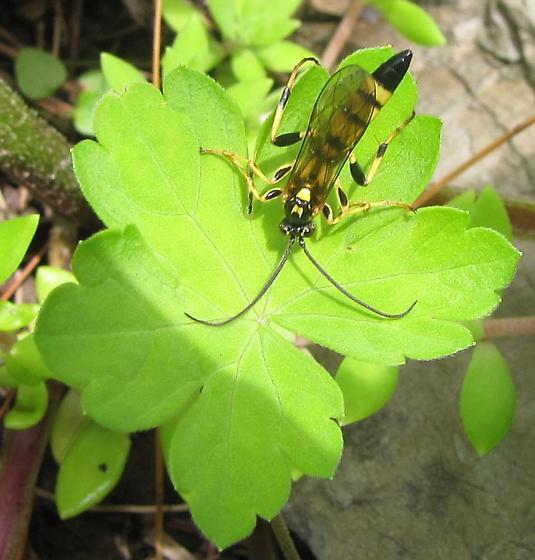 Tiphiid wasp? - Ichneumon annulatorius - male