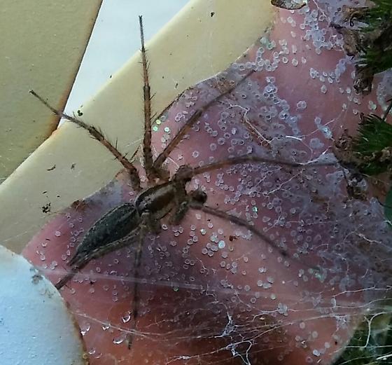 Funnel Weaver Spider
