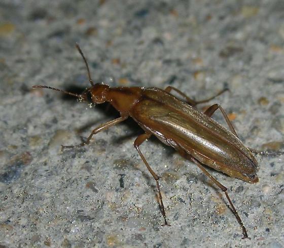Yellow, slender beetle - Cephaloon ungulare