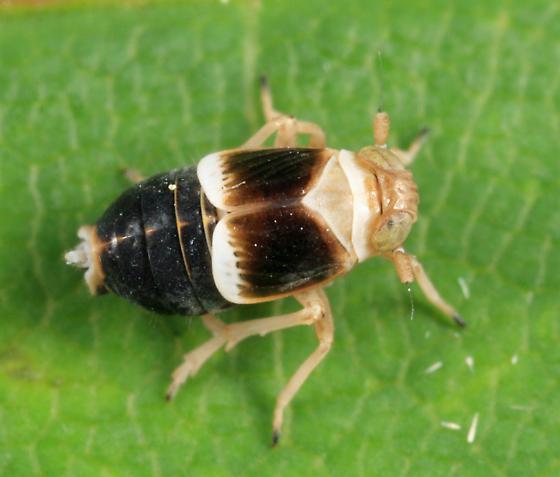 planthopper - Criomorphus inconspicuus