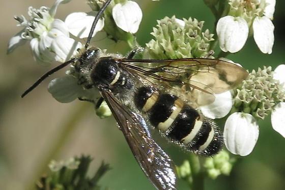 Black & White ?  - Dielis plumipes - male