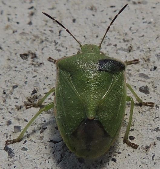 Green Stinkbug? - Thyanta custator