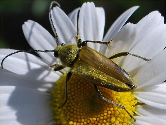 beetle - Lepturobosca