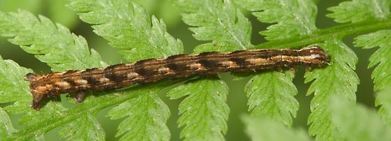 Caterpillar - Homochlodes fritillaria