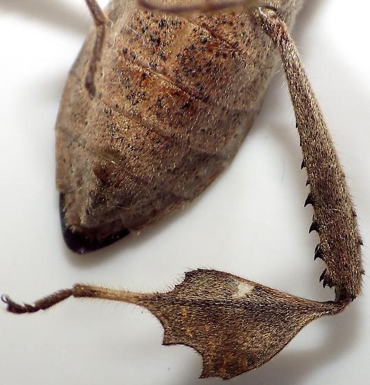 Leptoglossus zonatus