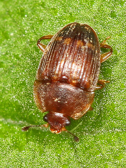 Small brown beetle - Stelidota geminata