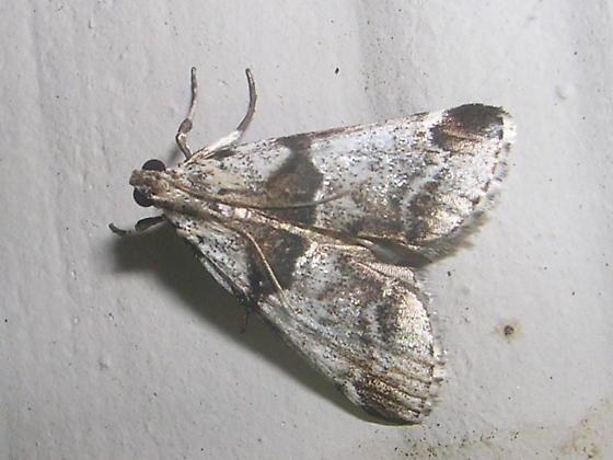 Moth ID Please - Tallula atrifascialis