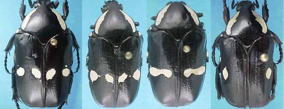 Gymnetina cretacea LeConte - Gymnetina cretacea