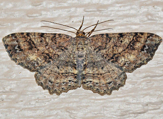 ? - Melanolophia canadaria - female