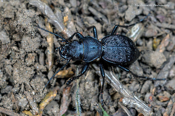 Beetle - Omus dejeanii