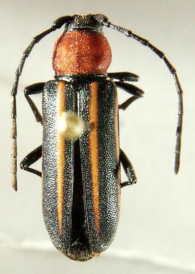 Mannophorus laetus