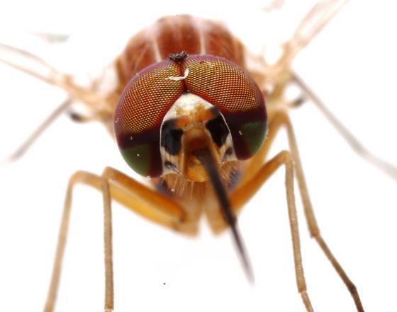 Poecilognathus? - male