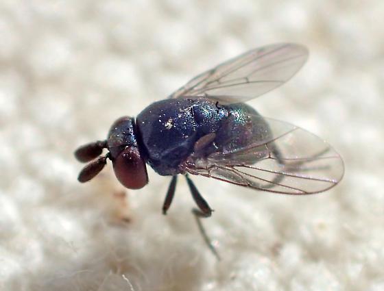 Mystery fly - acalyptrate?  Maybe a chloropid? - Cryptochetum iceryae
