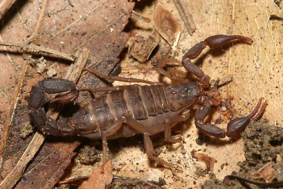 Scorpion - Vaejovis carolinianus
