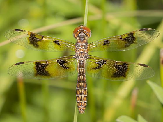 Perithemis tenera? - Perithemis tenera - female