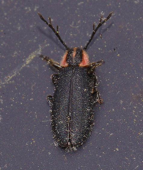 Lampyridae? - Chariessa pilosa
