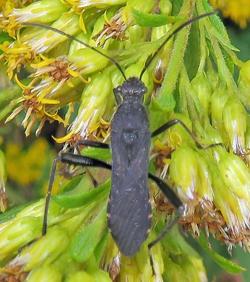 Alydus sp. - Alydus eurinus