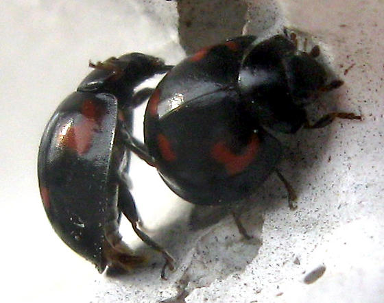 Pine Lady Beetles - Brumus quadripustulatus - male - female