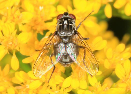 small Fly - Stomoxys calcitrans