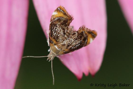 Skullcap Skeletonizer Moth - Prochoreutis inflatella - Prochoreutis inflatella