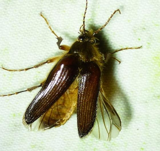 unknown insect - Scaptolenus