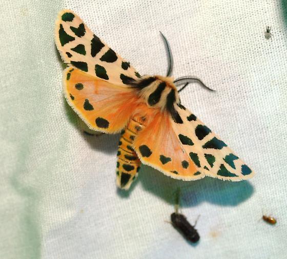 moth - Apantesis incorrupta