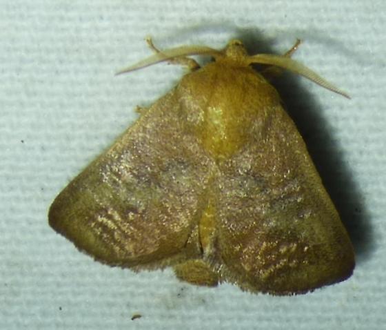 Isa textula - Crowned Slug - Isa textula