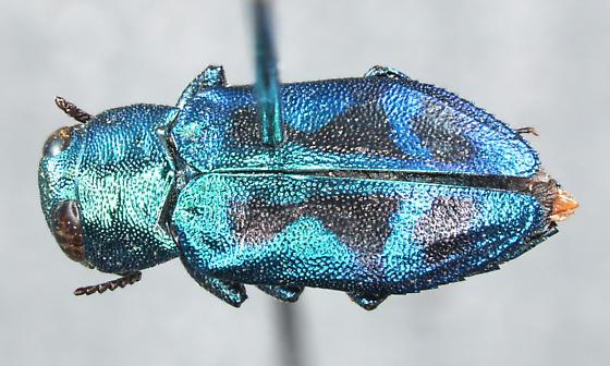 Chrysobothris lucana Horn, 1894 - Chrysobothris lucana - male