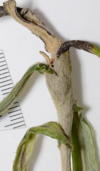 Tephritid emerging from stem galls of Anaphalis margaritacea (pearly everlasting) - Trupanea californica