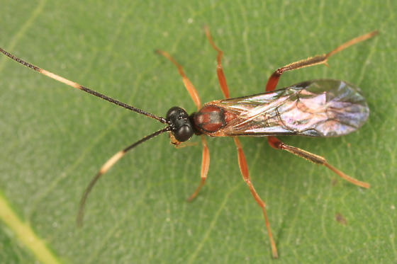 Ichneumon - Oxytorus - male