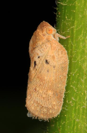 Flatid Planthopper? - Melormenis basalis