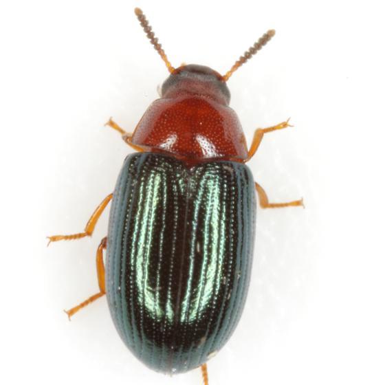 Neomida bicornis (Fabricius) - Neomida bicornis - female