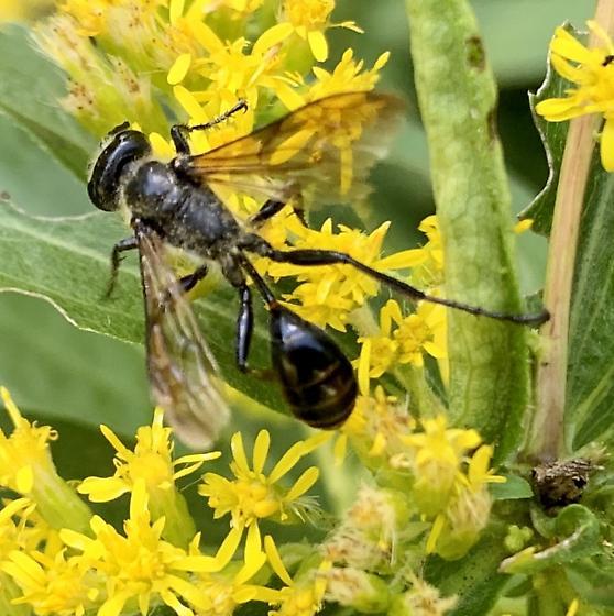 Black Wasp  - Isodontia mexicana