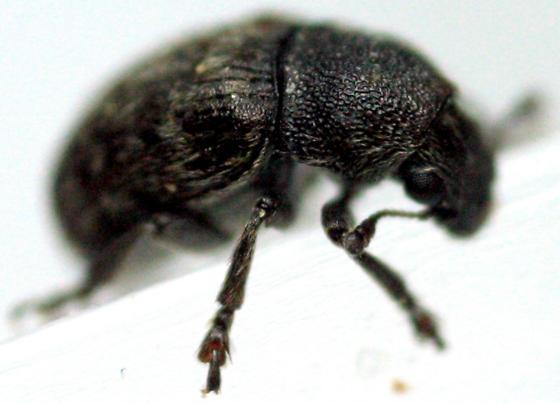 Weevil - Eusphyrus walshi