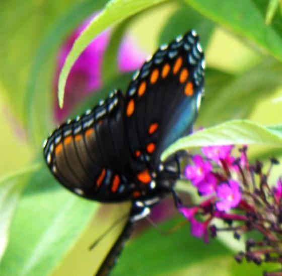 Red spotted purple - Limenitis arthemis