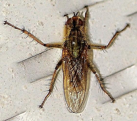 Scathophaga? - Scathophaga stercoraria - male
