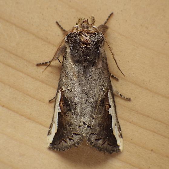Notodontidae: Symmerista canicosta? - Symmerista
