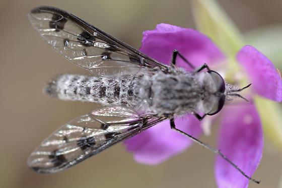 Unknown fly - Thevenetimyia tridentata