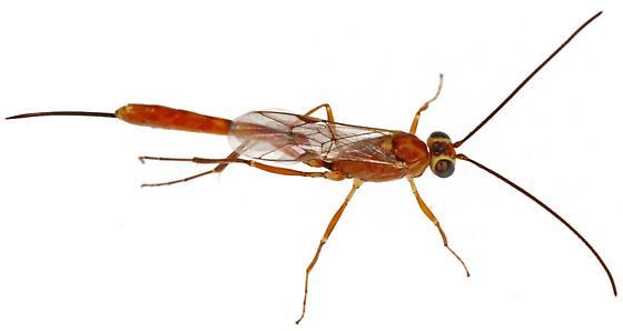 Ichneumonidae? - female