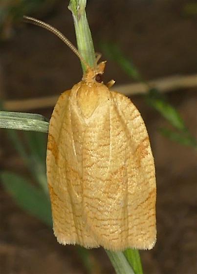 Choristoneura obsoletana - Aphelia alleniana