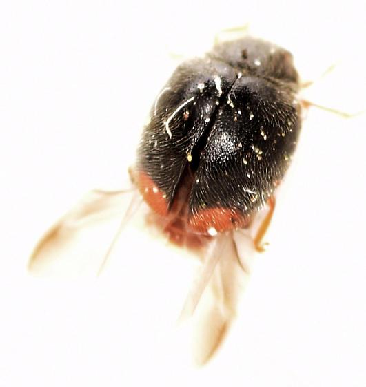 dusky lady beetle - Scymnus fraternus