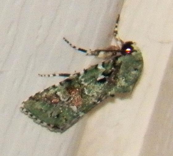Green moth - Lacinipolia