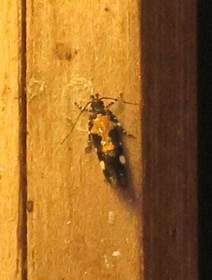 Stegasta bosqueella – Red-necked Peanutworm Moth  - Stegasta bosqueella