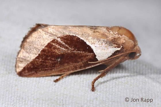Skiff Moth - Prolimacodes badia