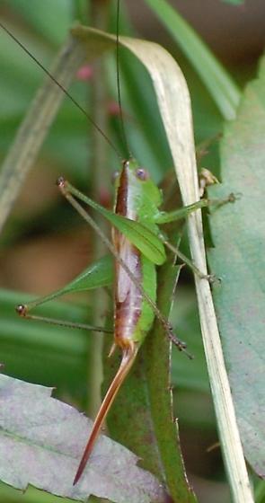 Green Grasshopper - Conocephalus brevipennis - female